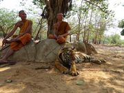 Templul tigrilor in Thailanda